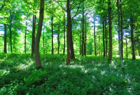 woodland showing sunlight through the tree canopy and filtering onto the woodland floor which is covered with green foliage